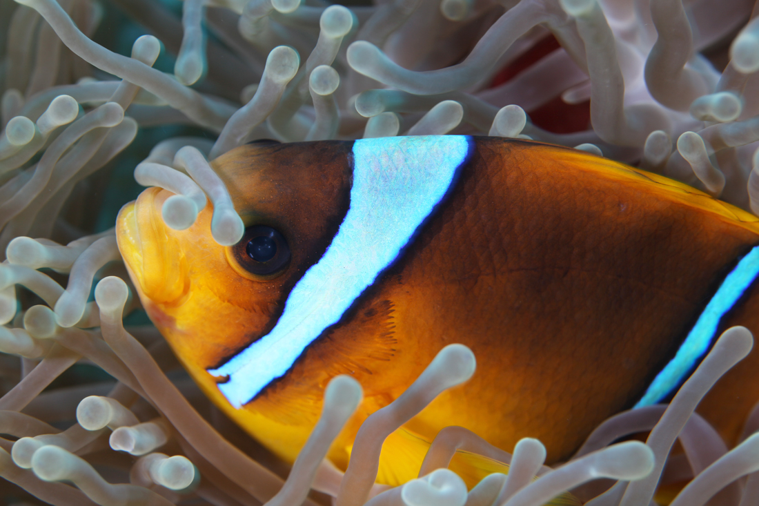 20111212140711_poisson_amphiprion3.jpg